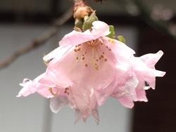 平野神社03.jpg